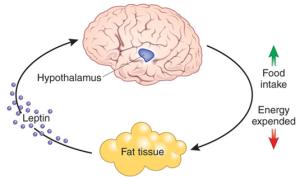 Hypothalamus diagram